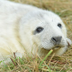 Picture Of Such cuties! Lincolnshire`s amazing Donna Nook seal pups